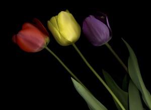 tulipanes con avispa